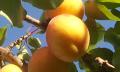 Jak správně zasadit ovocný strom