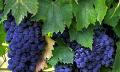 Vinná réva - množení