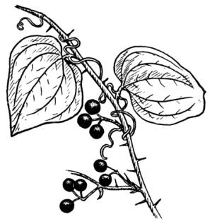 Smilax lékařský