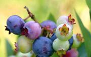 Kanadské borůvky a zdraví