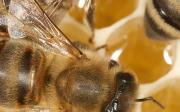 Alergie na včely