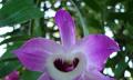 Orchidej Dendrobium