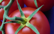 Choroby rajčat