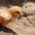 Kuře soté
