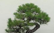 Bonsaj Carmona microphylla