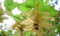 Habr obecný – carpinus betulas