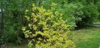 Cornus alba