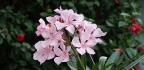Kvetoucí pokojový keř oleandr