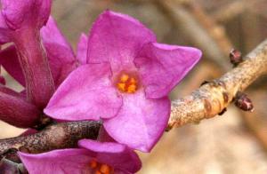 Růžově kvetoucí keře