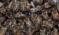 PSNV - Pracovní společnost nástavkových včelařů