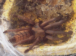Chilobrachys fimbriatus