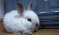 Zakrslý králík - plemena